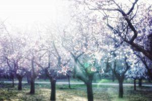 Sunlight Piercing Through Cherry Blossom Trees